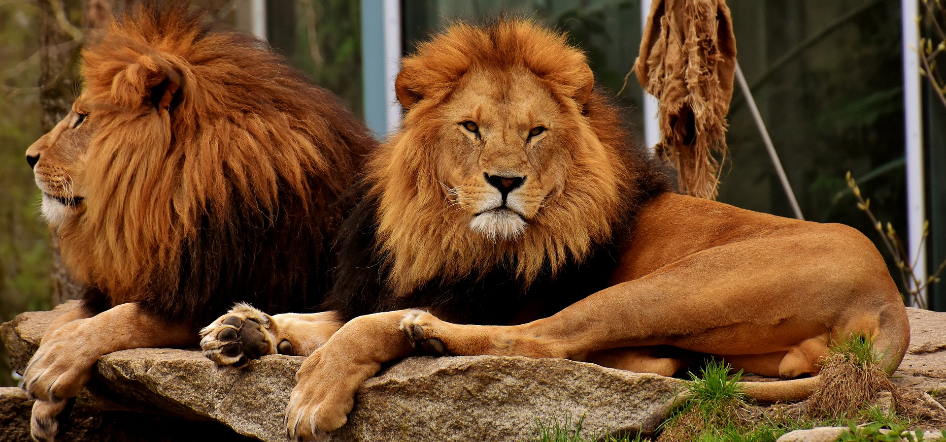 lion-3318085_1920